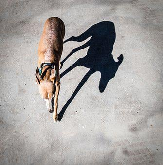 Dog, Shadow, Italian Greyhound, Sighthound, Greyhound