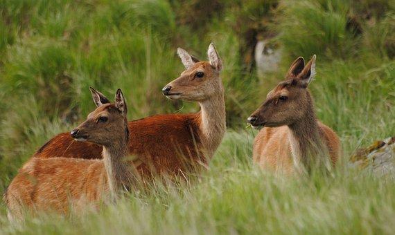 Deer, Hinds, Female, Sika