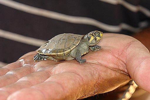 Turtle, Peta, Bebe, Hand, Small, Helpless, Weak