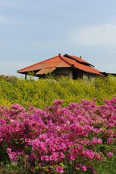 Rape Flowers, Azalea, April, Spring, Hwasaham