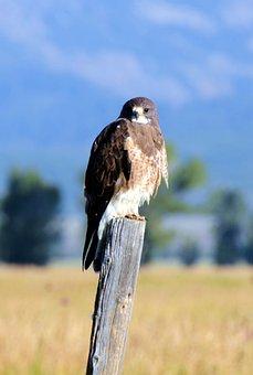 Swainson's Hawk, Bird, Hawk, Teton, Tetons