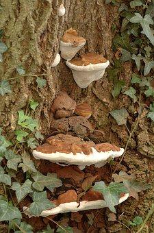 Fungus, Bracket, Tree, Trunk, Mushroom, Nature, Wood