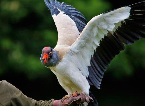 King Vulture, Vulture, Wildlife, Beak, Nature, Feather