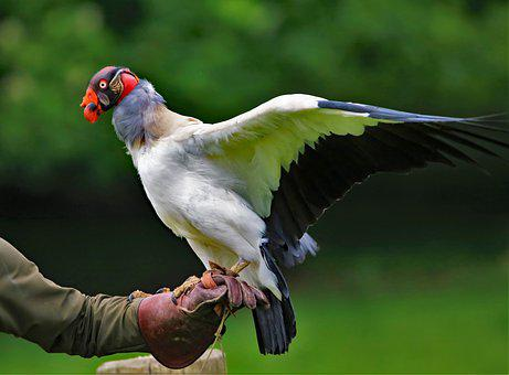 King Vulture, Vulture, Wildlife, Nature, Red, Feather