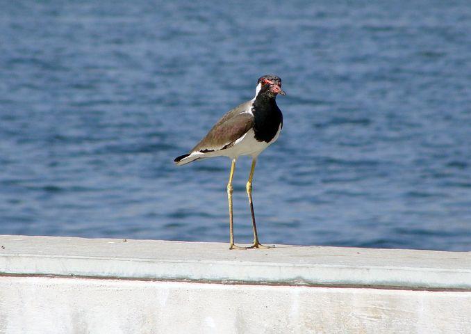 Bird, Riverfront, Waterfront, Water, Lapwing