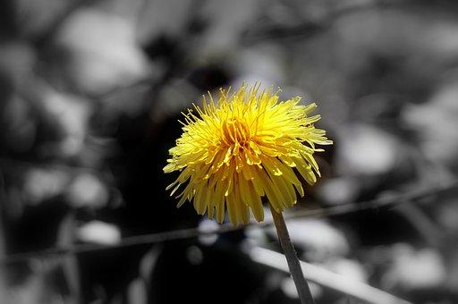 Dandelion, Flower, Wild Flora, Flowers, Spring