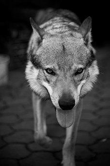Dog, Wolf, Pet, Big, Animal, Scary, Cat