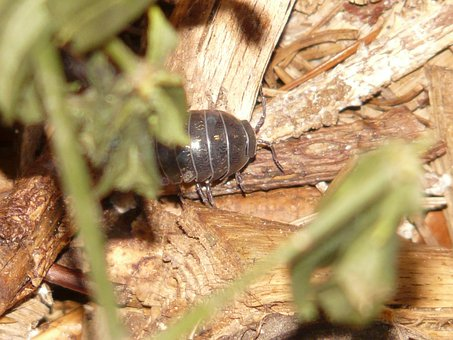 Porcellio Scaber, Animal, Terrestrial Isopod, Bush