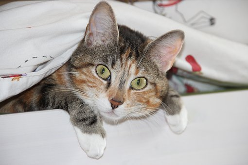 Cat, Domestic Cat, Animal, Expectant, Funny, Cheeky