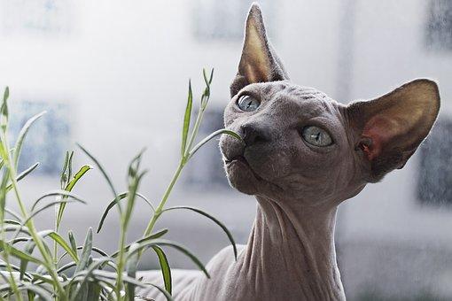 Animal, Cat, Feline, Hairless, Pet