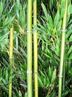 Bamboo, Bamboo Cane, Plant, Geblichgruen, Bamboo Leaves