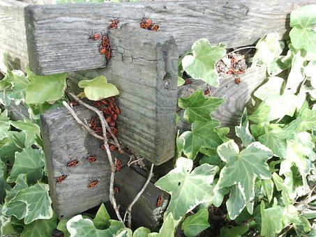Ivy, Beetle, Red, Compost, Grave Digger, Animals