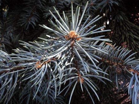 Blue Spruce, Herringbone, Branch, Dove-colored