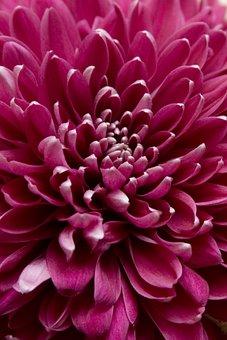Chrysanthemum, Closeup, Raspberry, Color, Rosa, Flora