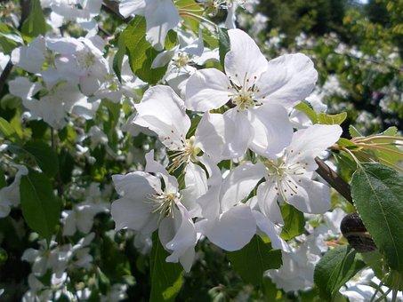 Bud, Flower, Blooming, Crab Apple, Tree, Blossom, White