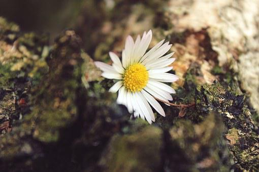 Daisy, Flower, Plant, Close, White, Blossom, Bloom