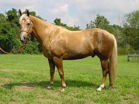Palomino, Horse, Mare, Stallion, Mane, Equestrian