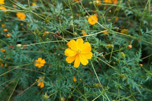 Cosmos, Flower Garden, Yellow, Autumn