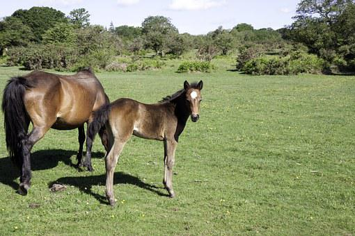 Foal, Horse, Pony, Colt, New Forest Pony, New Forest