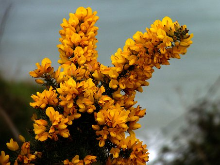 Gorse, Furze, Yellow, Yellow Flower Flower, Shrub
