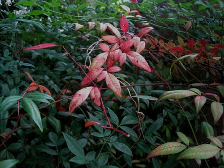 Leaves, Oblong, Clump, Red, Holy Bamboo, Garden