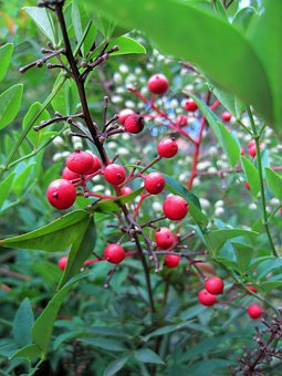 Berries, Red, Round, Holy Bamboo, Leaves, Plant