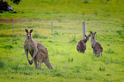 Kangaroo, Australia, Macropus Giganteus