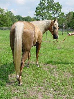 Horse, Mare, Stallion, Mane, Equestrian, Mammal
