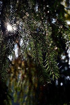 Solar Light, Needles, Autumn, Morning, Tree, Nature