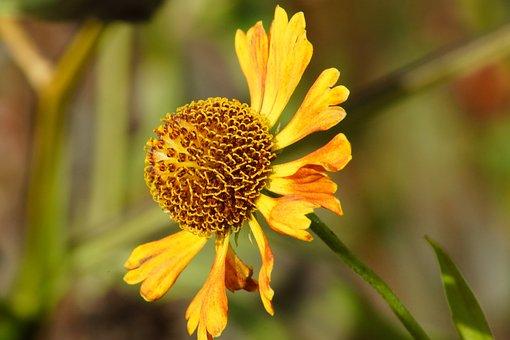 Helenium, Flower, Yellow, Blossom, Petals, Orange, Fall