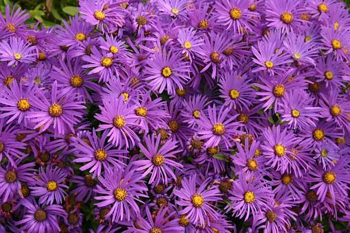Asters, Flowers, Purple, Autumn, Flowering, Daisy