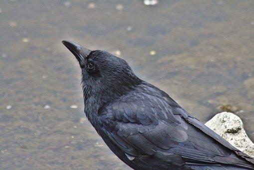 Raven, Head, Bill, Water, Plumage, Animal, Creature