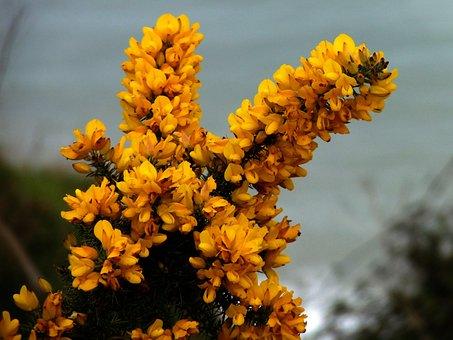 Gorse, Furze, Yellow, Yellow Flower Flower, Shrub