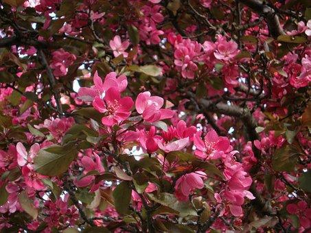 Flowers, Pink, Petal, Spring, Nature, Garden, Blossom