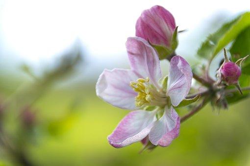 Apple Flower, Flowering Crabapple, Flower, Tree, Fruit