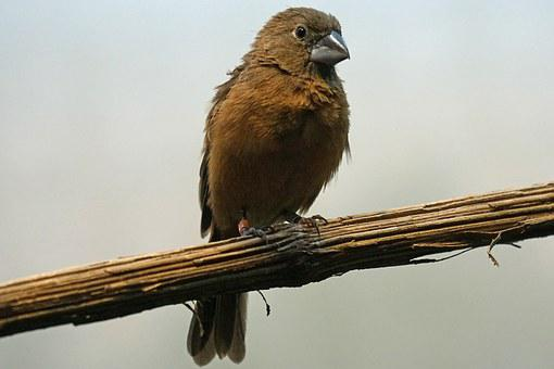 Ultramarine Bishop, Bird, Animals, Sperling, Songbird