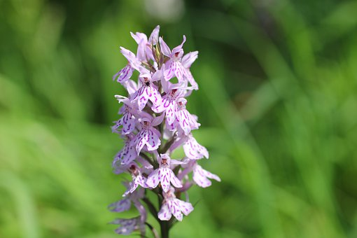 Heath Spotted Orchid, Widlblume, Orchid, White Purple