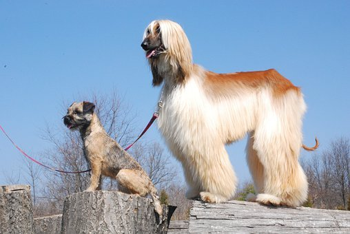 Afghan, Border Terrier, Dogs, Canines, Animals, Pets