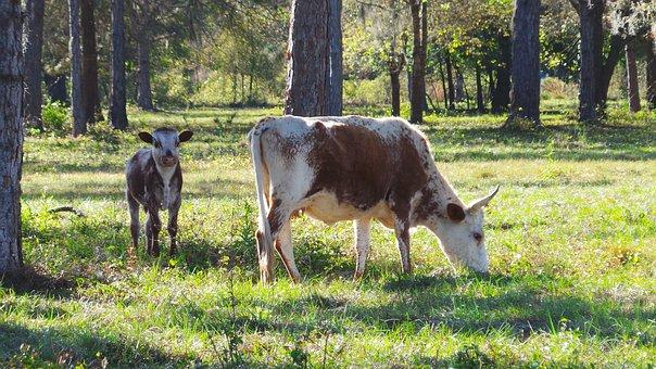 Cow, Calf, Cracker, Farm, Agriculture, Cattle, Mammal