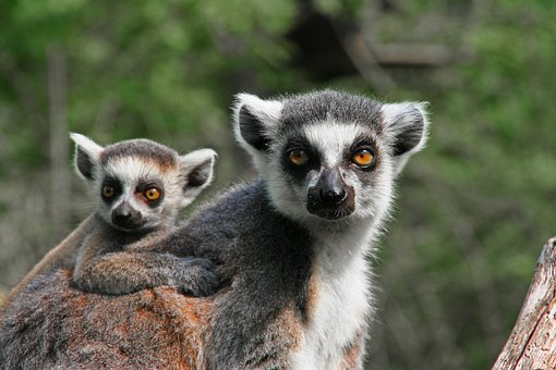 Lemur, Ape, Mother With Child, Animal, Nature, Mother