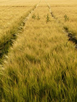 Barley Field, Away, Lane, Tractor Tracks, Traces