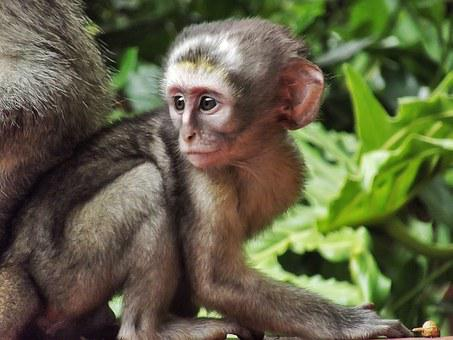 Vervet, Monkey, Baby, Male, Nature, Wild, Wildlife