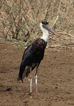 Stork, Woolly Necked, Ciconia, Episcopus, Bird