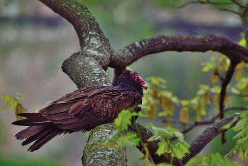 Turkey Vulture, Raptor, Bird, Buzzard, Niagara Gorge