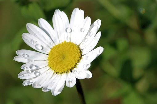 Mage Rites, Magerite, Daisy, Blossom, Bloom, White