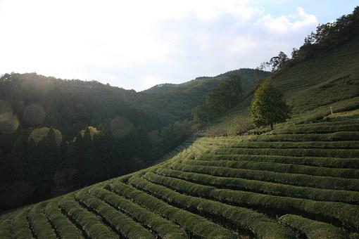 Tea, Scenery, Green Tea Plantation, Boseong