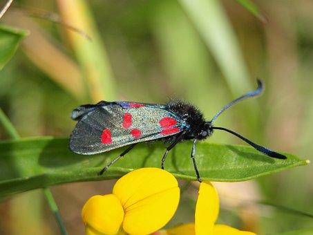 Burnet, Beetle, Butterfly, Black Red