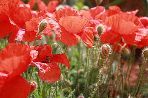 Poppies, Flower, Campaign, Summer, Red, Bloom