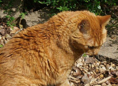 Basking Orange Cat, Cat, Feline, Orange, Animal, Garden