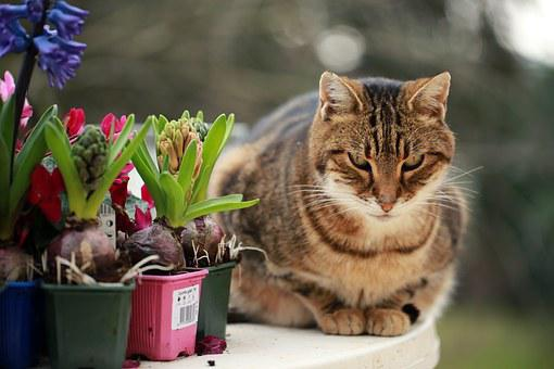 Hyacinths, Cat, Plantations, Table, Outside, Fart
